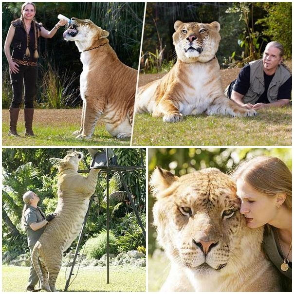 A cross between a tiger and a lion: Halftone liger got into the Guinness Book of Records