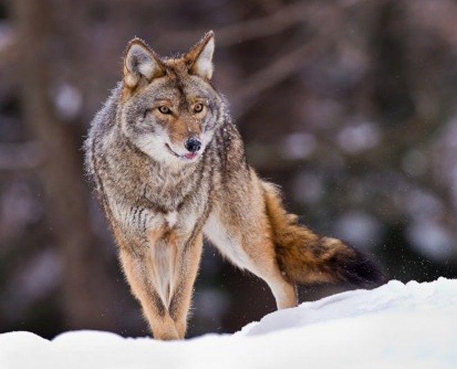 Wolf!!