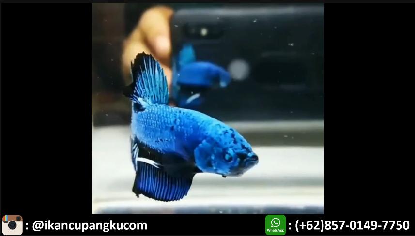 Jual Ikan Cupang Hias Sukabumi Wa 0857 0149 7750 Ikan Cupang Ikan Kota Makassar
