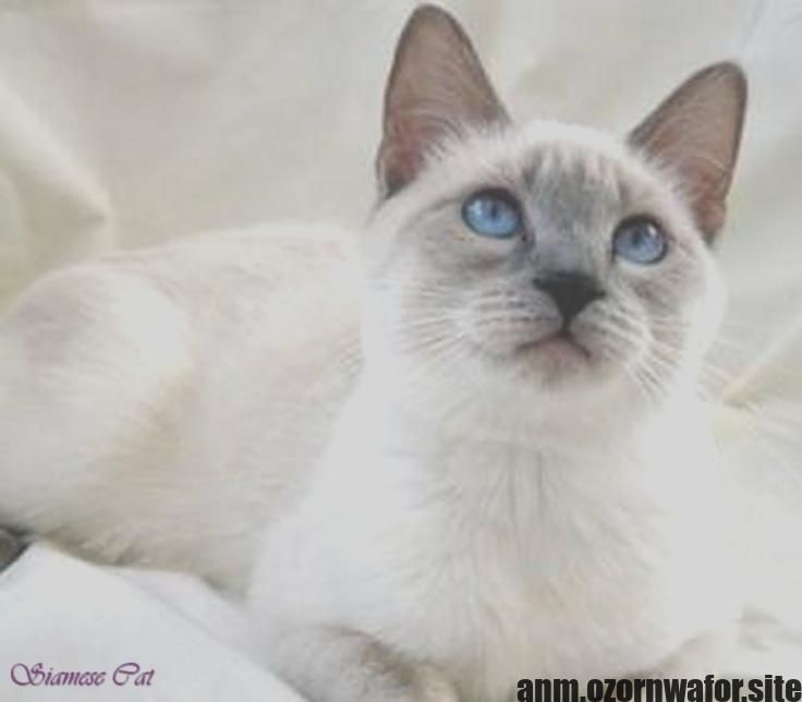 Latest Pics Siamese Cats Grey Tips Siamese Cats Blue Point Siamese Kittens Cat Lovers