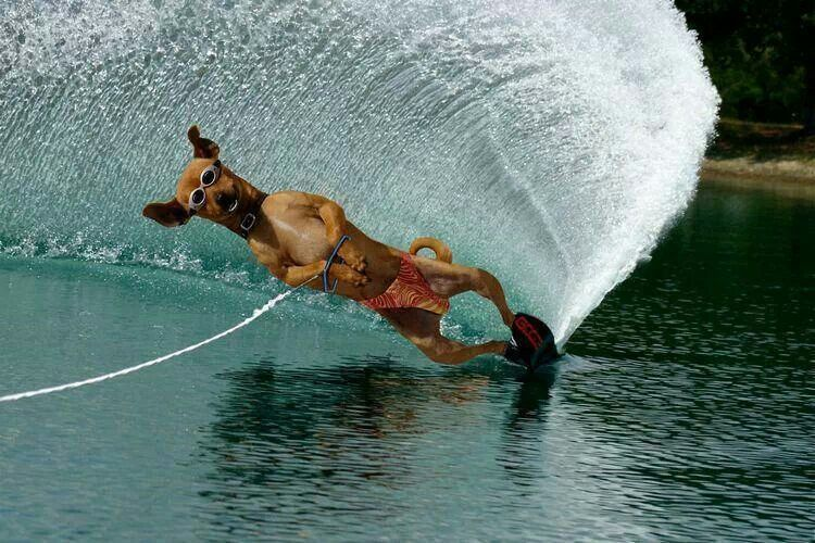 Water Skiing Dog Cute Funny Animals Animals Funny Animals