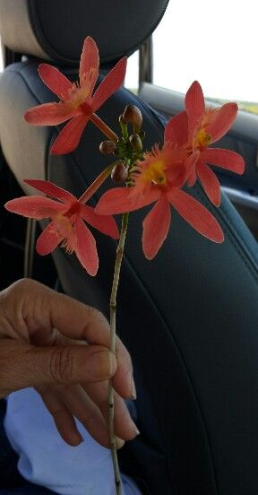 Orquidea da restinga - Porto de Sauipe - Bahia