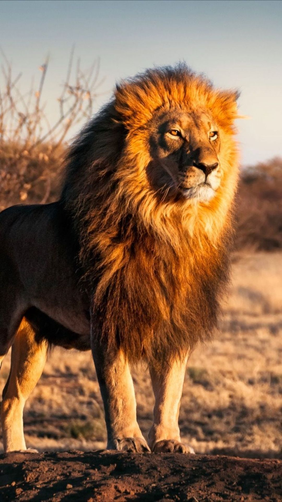 Lion Iphone Android Iphone Desktop Hd Backgrounds Wallpapers 1080p 4k 124952 Hdwallpapers Androidwallp Lions Photos Lion Images Animals Beautiful