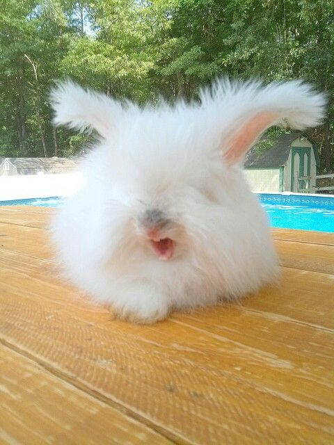 English Angora Bunny Yawn Angora Bunny English Angora Angora