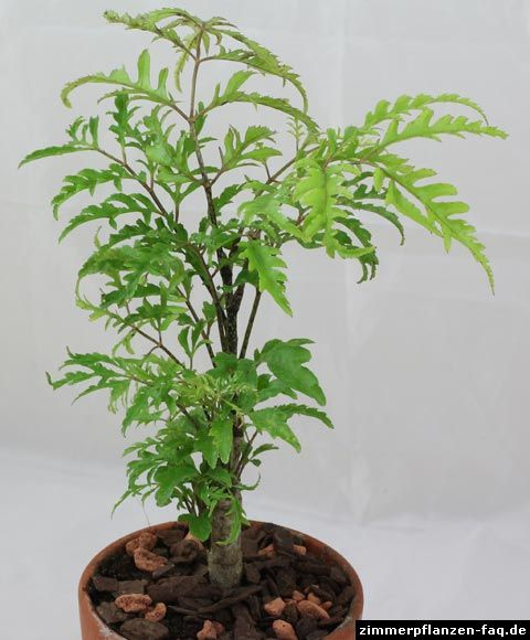 Polyscias Filicifolia Plants Container Plants Bonsai