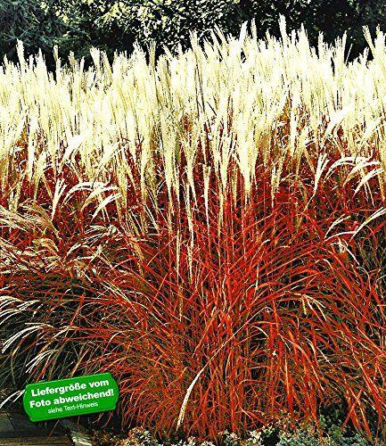 Perfect BALDUR Garten Ziergras uIndian Summer u Chinagras Chinaschilf Pflanze Miscanthus sinensis