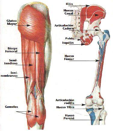 Musculos de la pierna. Vision posterior. Isquiotibiales ...