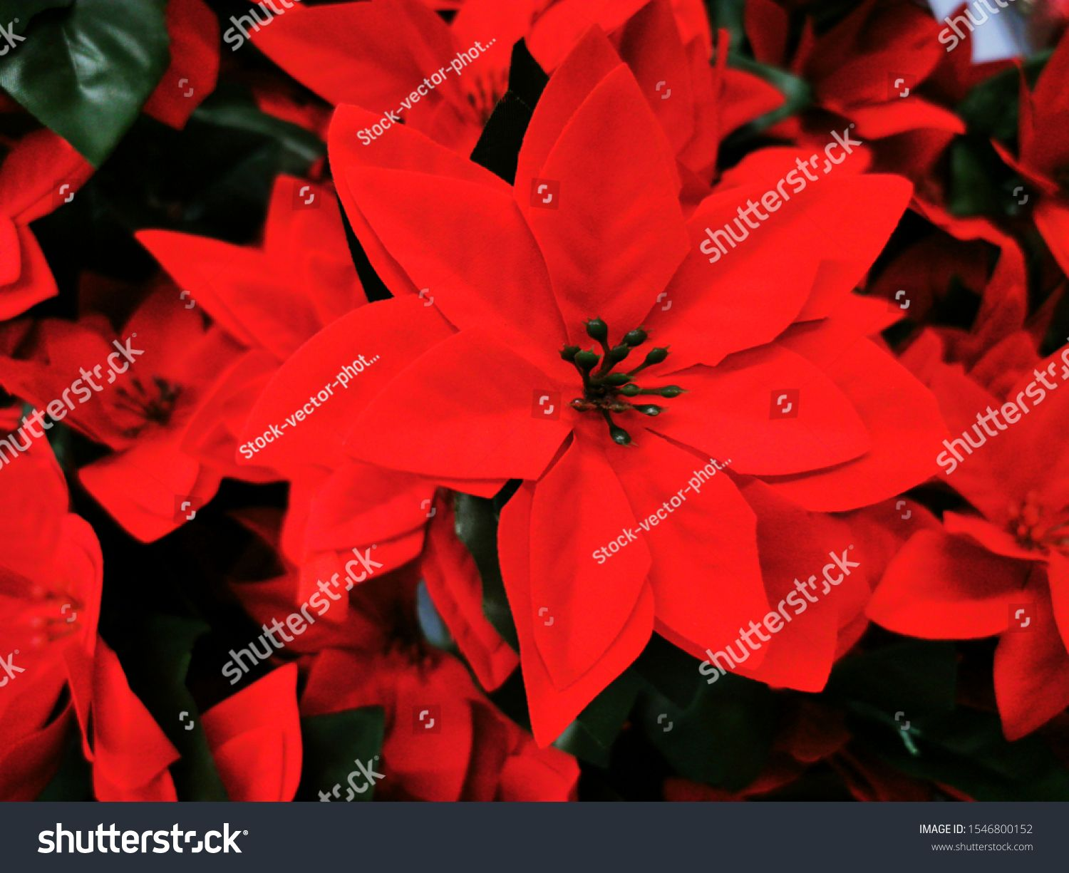 Red Poinsettia Flower Also Known As The Christmas Star Or Bartholomew Star New Year Winter Holiday Xmas Co Poinsettia Flower Christmas Star Christmas Photos