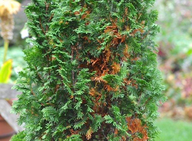 When Inner Conifer Needles Turn Yellow Or Brown Green Giant Arborvitae Emerald Green Arborvitae Thuja Green Giant