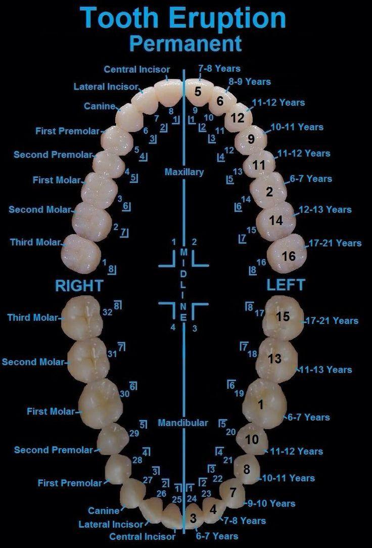 Anatomy of a tooth | Higiene bucodental2017/2018 | Pinterest ...