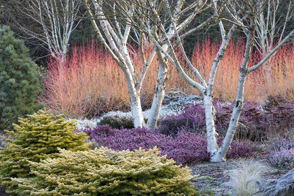 Betula Apoiensus, Mount Apoi, Birch Tree  Design a Winter Garden that Combines Toughness, Color & Texture  Bressingham Gardens  Norfolk, England #wintergardening