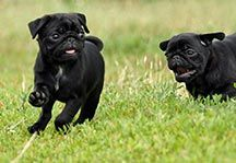 Pug Temperament Pug Temperament Pugs Your Dog