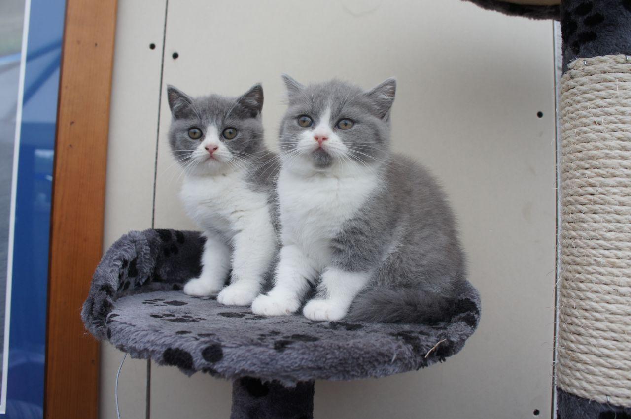 British Shorthair Cat For Sale Uk British Shorthair Kittens British Blue Cat British Shorthair Cats