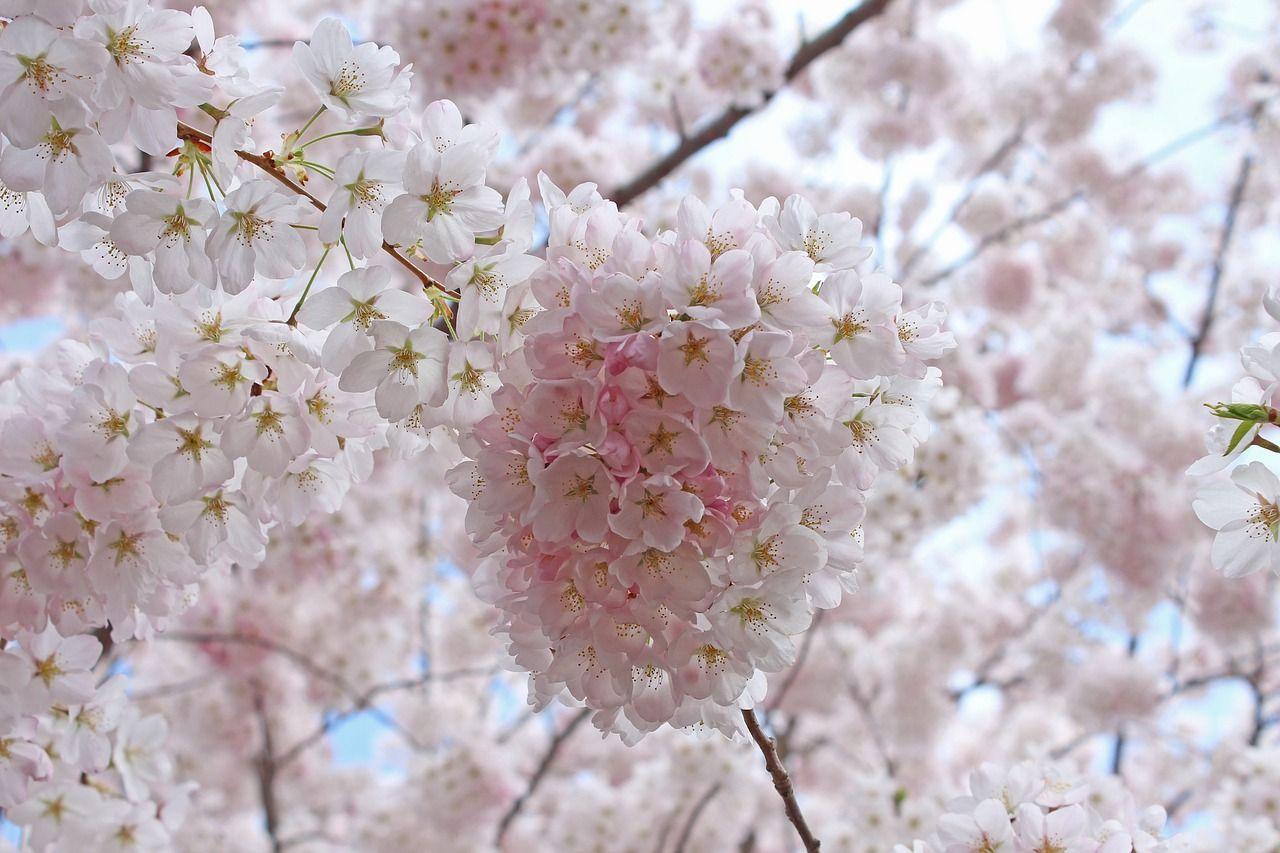 Park Sakura Cherry Blossoms Spring Park Sakuracherryblossoms Spring Sakura Cherry Blossom Cherry Blossom Tattoo Cherry Blossom