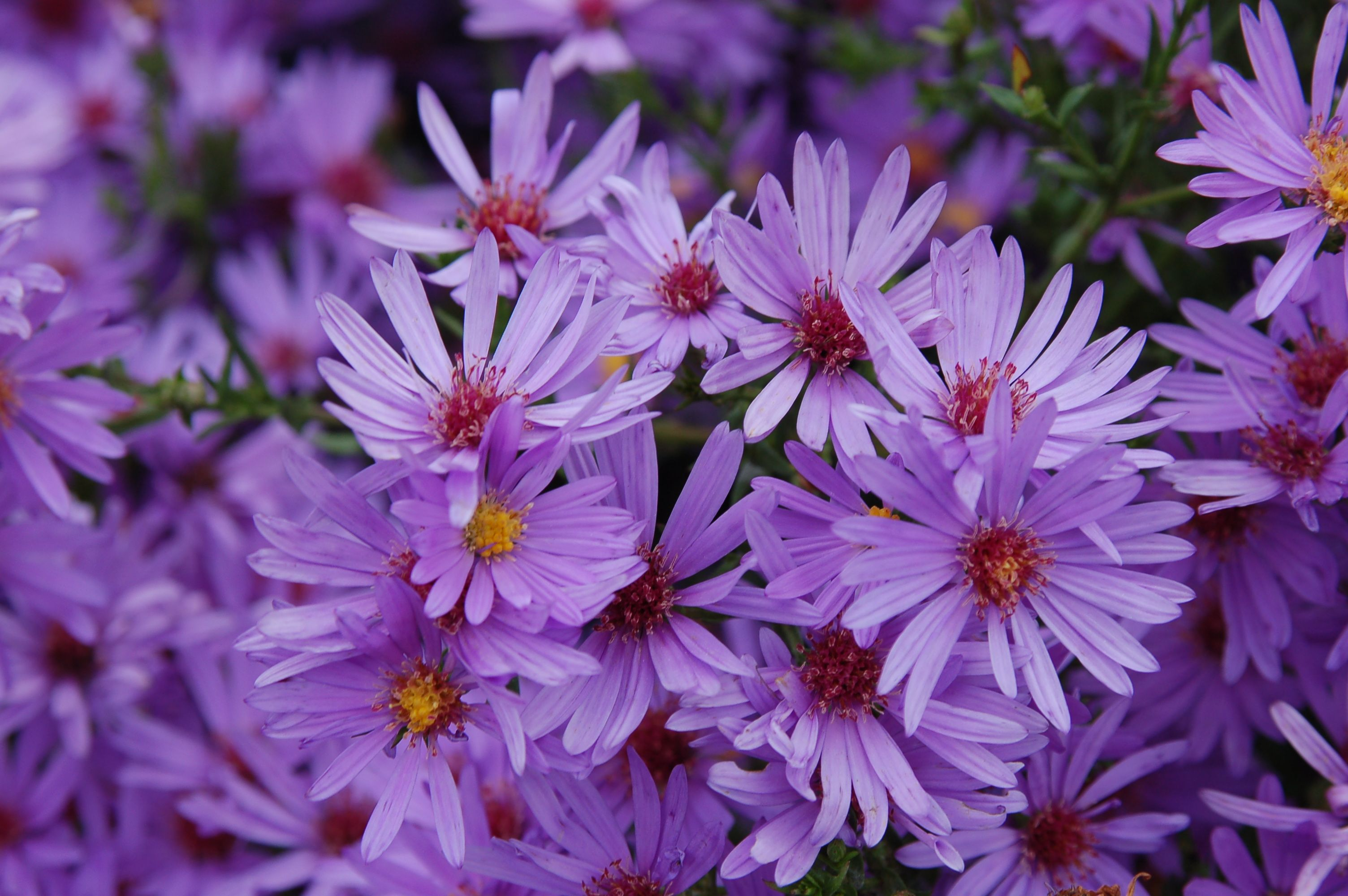 Aster laevis kurt perennial garden plants perennials