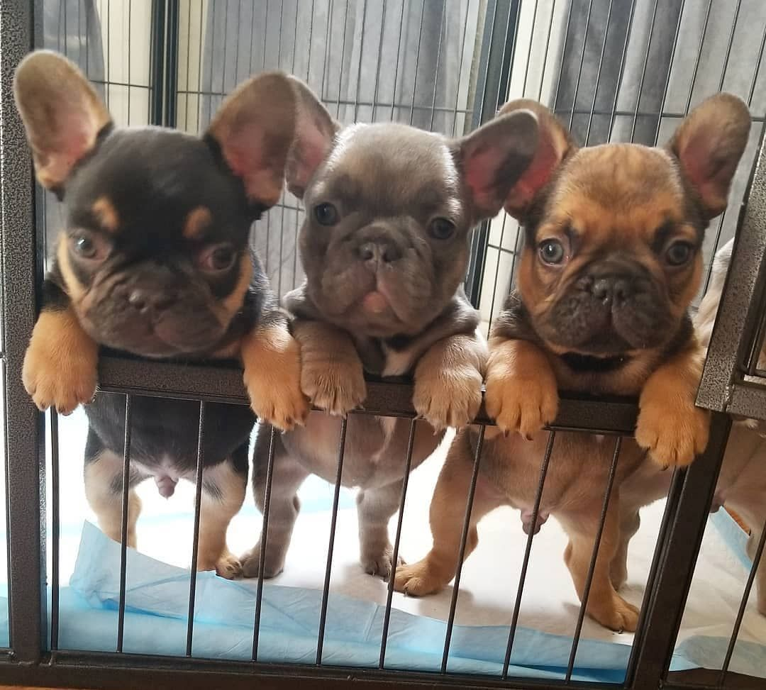 Emerald Frenchies Emeraldfrenchies Cute Baby Animals French Bulldog Puppies Baby Animals
