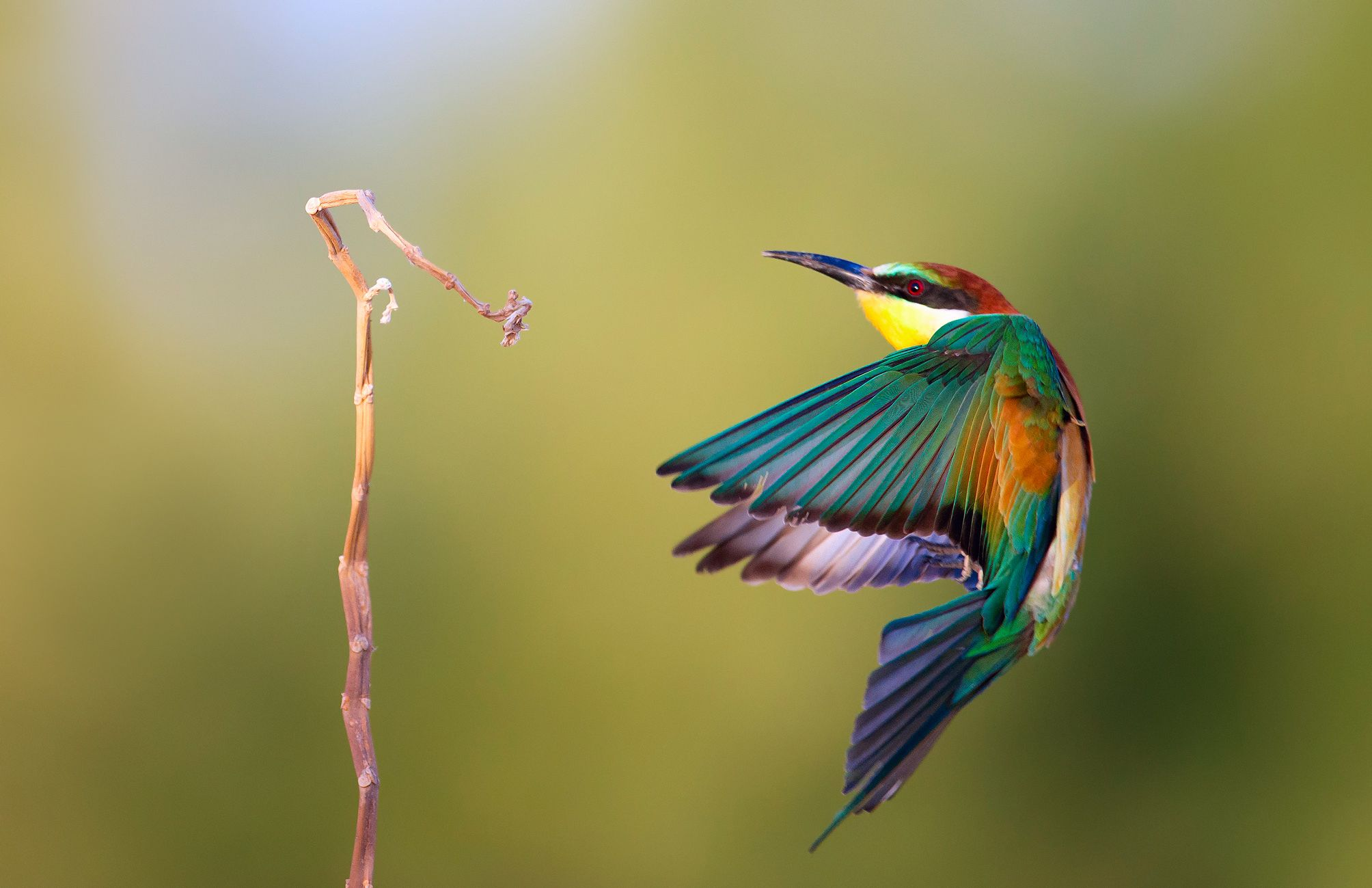 Bee eater birds wallpaper animals full hd All Creatures