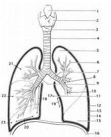 نتيجة الصورة لـ Teachers Labeled Diagram Respiratory