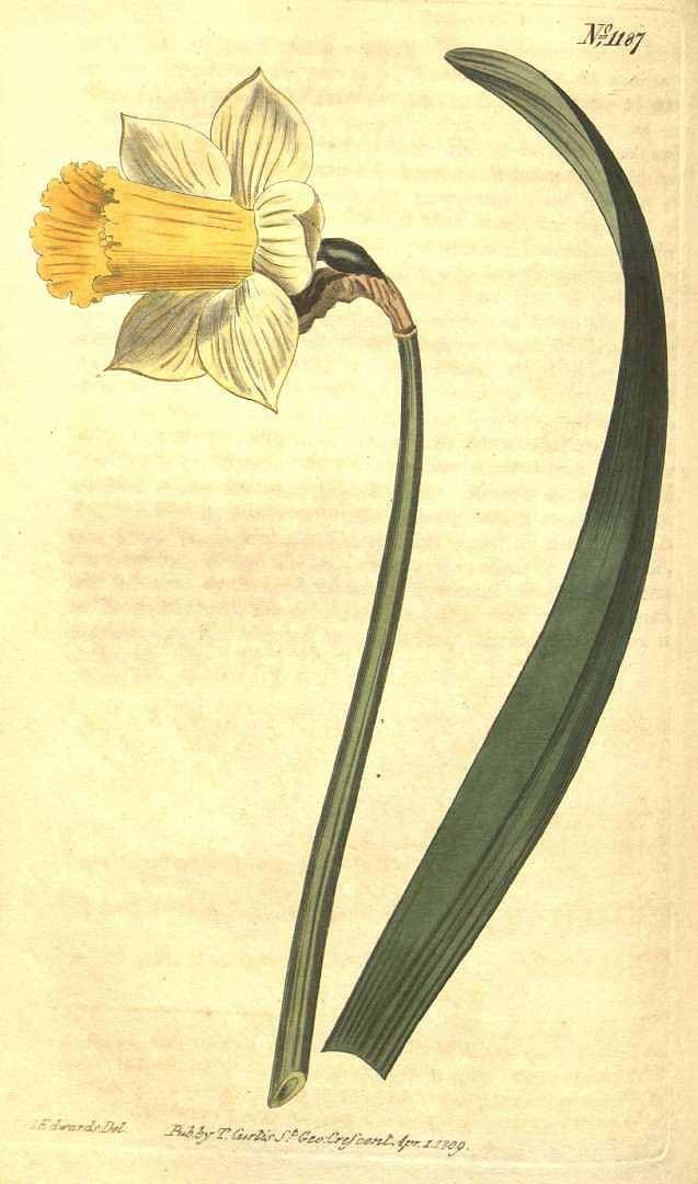 8225 Narcissus pseudonarcissus L. [as Narcissus bicolor L.]  / Curtis's Botanical Magazine, vol. 29: t. 1187 (1809) [S.T. Edwards]