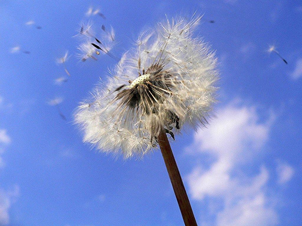 Dandelion Seeds Taraxacum Officinale