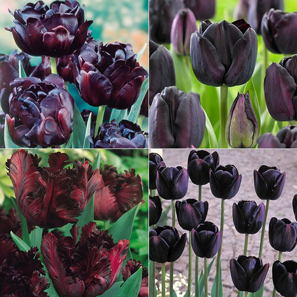 Rare Tulips | Home Plants Grow your own Tools Outdoor living Wildlife Articles ...