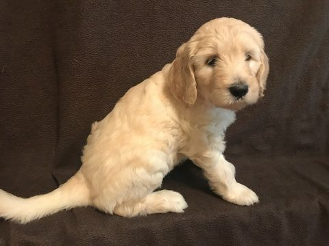 Litter Of 7 Goldendoodle Puppies For Sale In Macon Ga Adn 38321