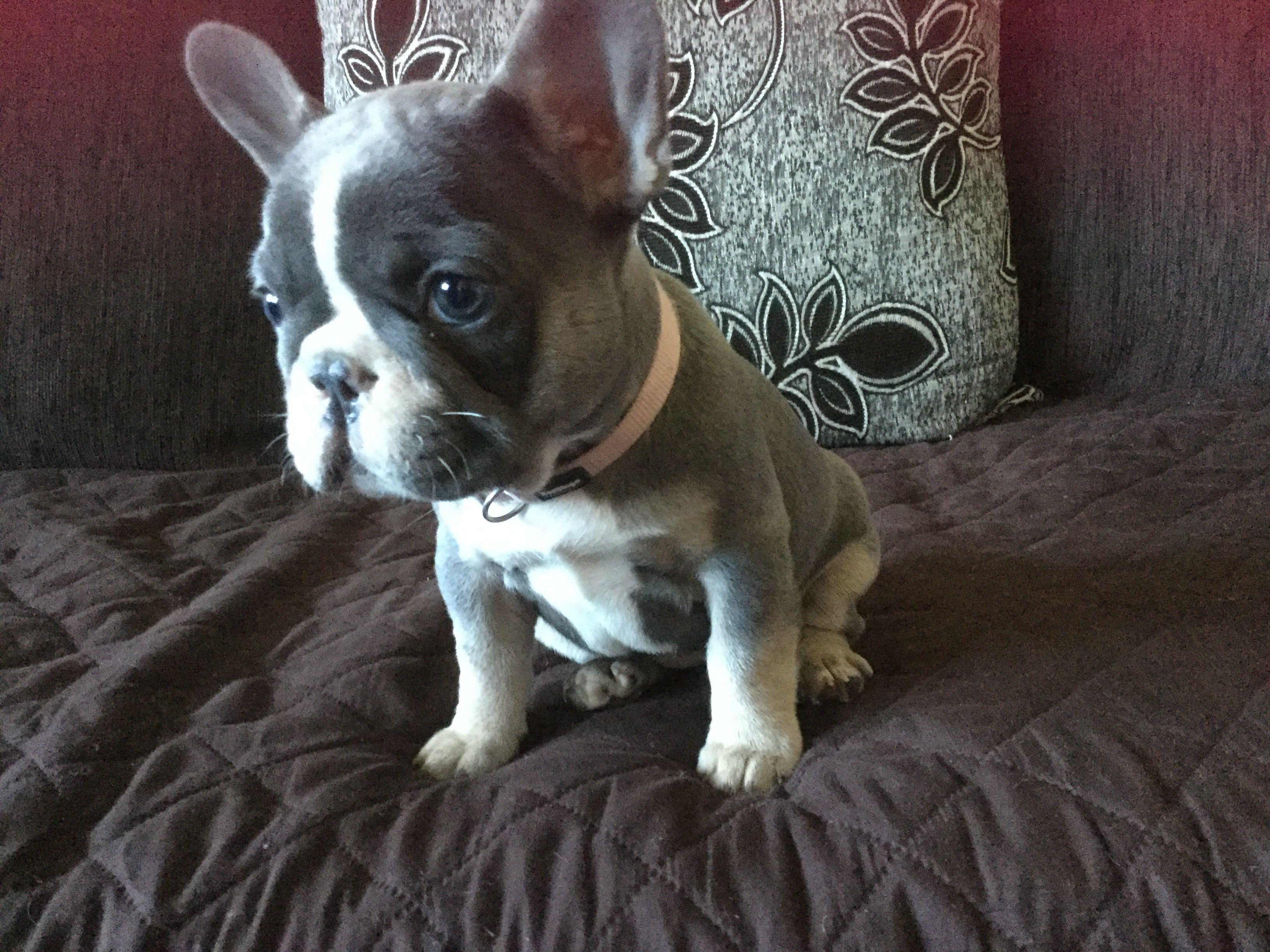 Cinderella Jean Minnie Milo French Bulldog Pawshake French