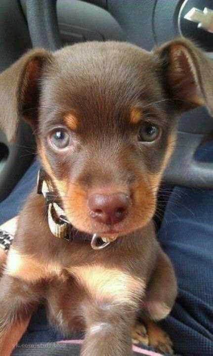 Cute min pin puppy | Cute animals, Cute puppy pictures, Puppies