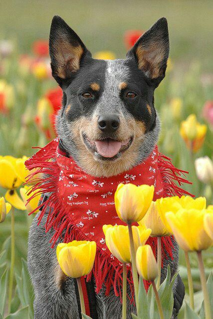 Blue Heeler Real And Only Blue And Red Heeler Well Some