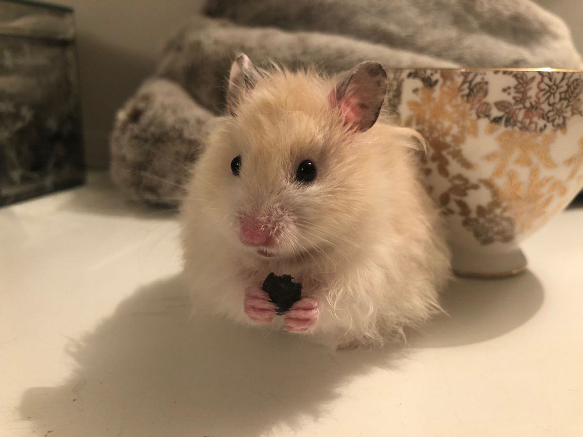 Cute Syrian Hamster Called Buttons Syrian Hamster Cute Hamsters Hamster