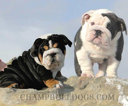Black Tri English Bulldog Pup And Blue Ac