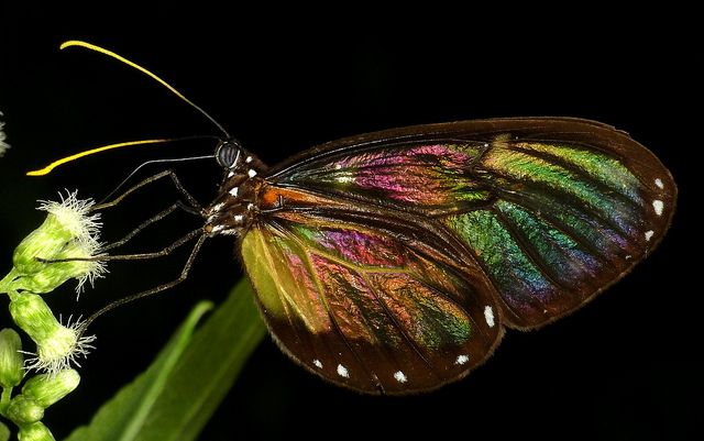 Clearwing butterfly by Andreas Kay, via Flickr