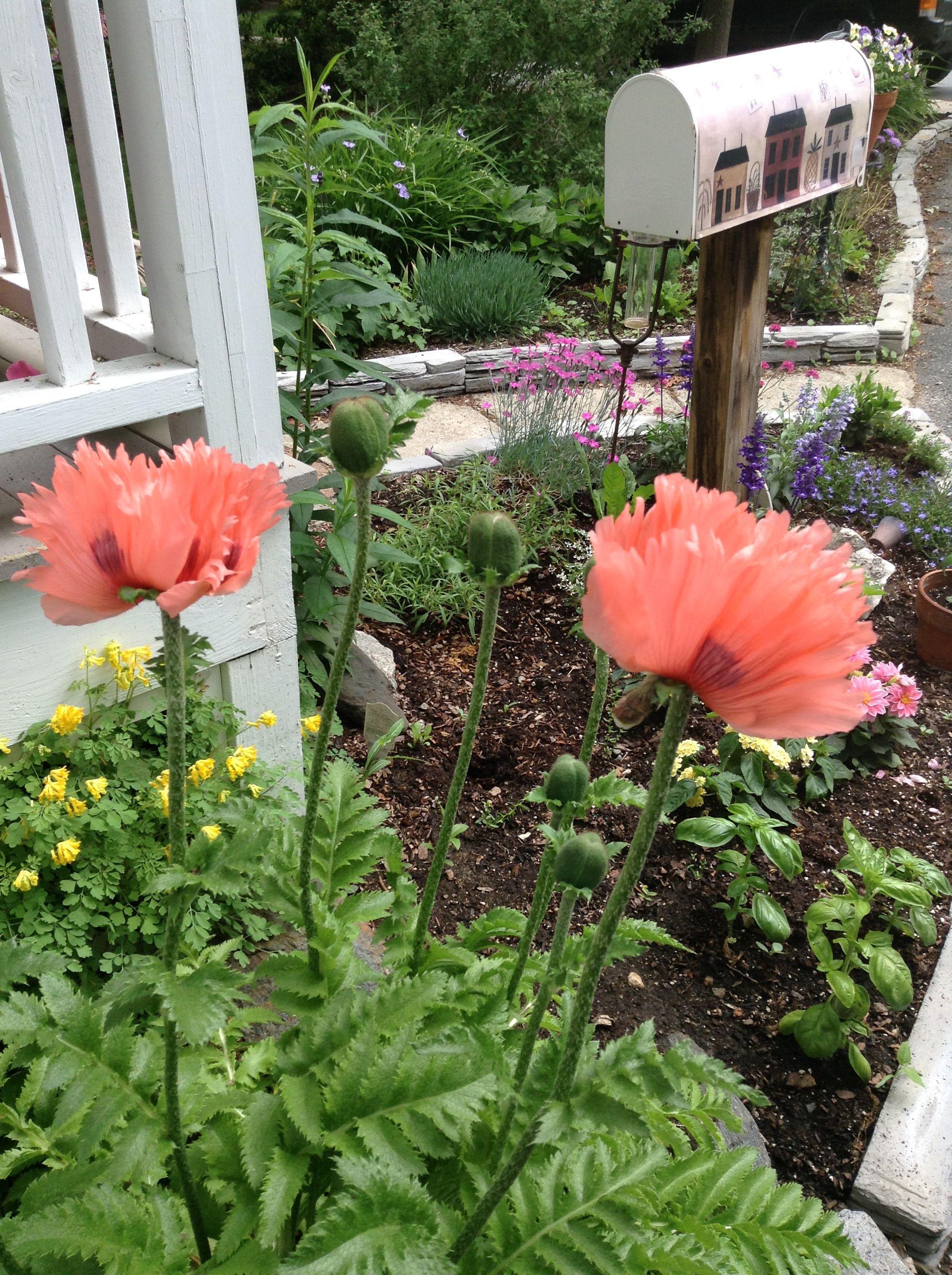 poppies in bloom in early June
