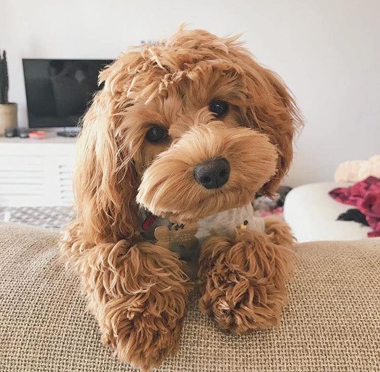 So cute puppy Super cute puppies, Cavapoo puppies, Cute
