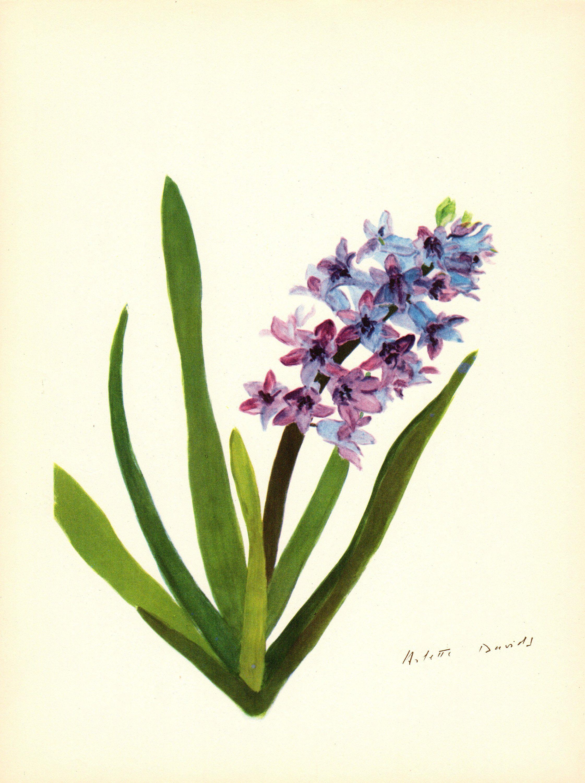 purple hyacinth flower drawing