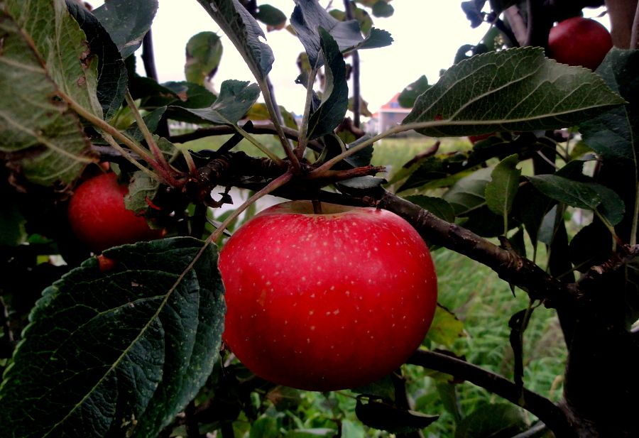 An apple in the backyard of our friends in Wolvega.