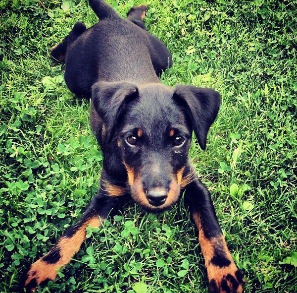 German Hunting Terrier Rare Jagdterrier German Hunting Terrier Pup