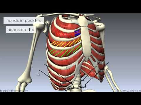 ▷ Muscles of the Thoracic Wall - 3D Anatomy Tutorial - YouTube ...
