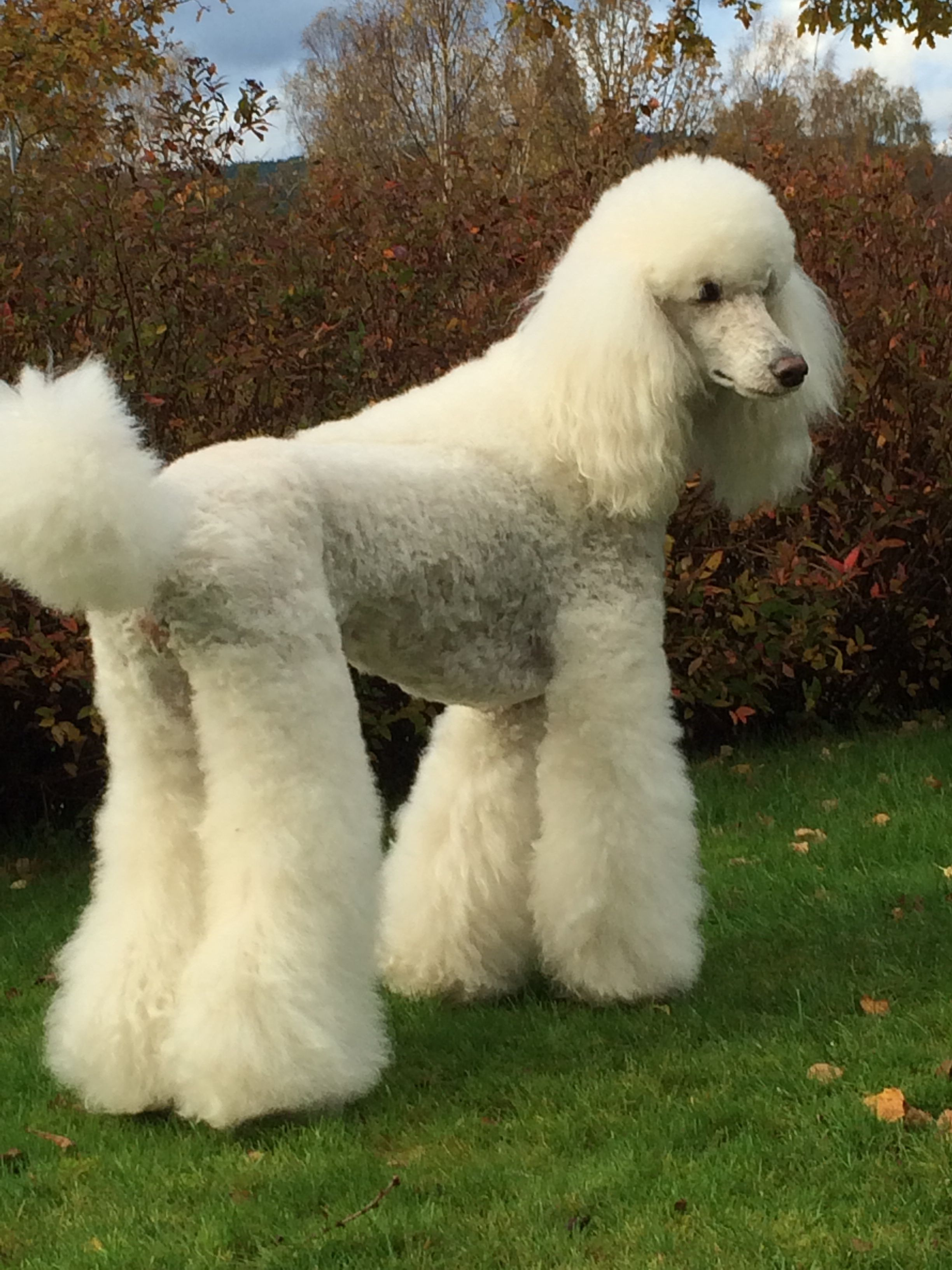 Here Is Laiza From Sweden Standard Poodle Haircuts Poodle