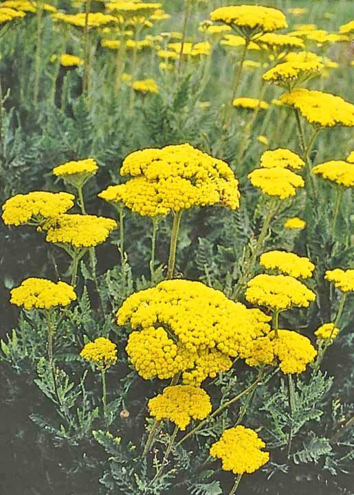 Different types of golden yellow flowers gold yarrow the flower different types of golden yellow flowers gold yarrow the flower expert flowers encyclopedia mightylinksfo