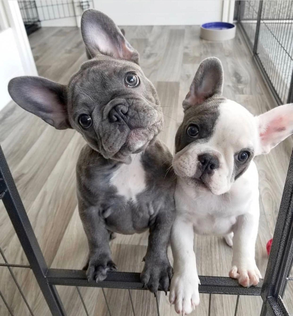 French Bulldog Blue With Images French Bulldog Puppies Cute