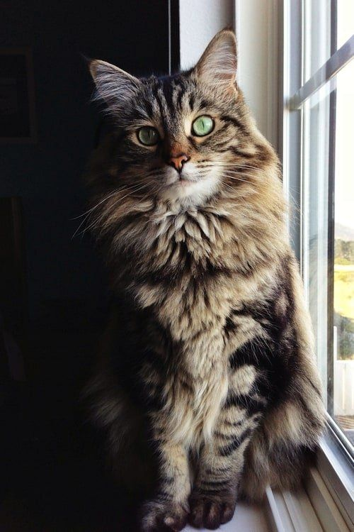 Maine Coon Cat Breed - Cool Cat Tree House