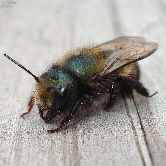 Canadian Wildlife Federation: Mason Bee | Mason bees, Bee ...