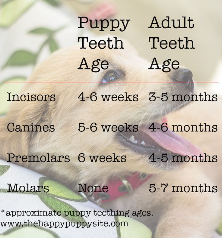Puppy Teething Chart and lots of information about puppy