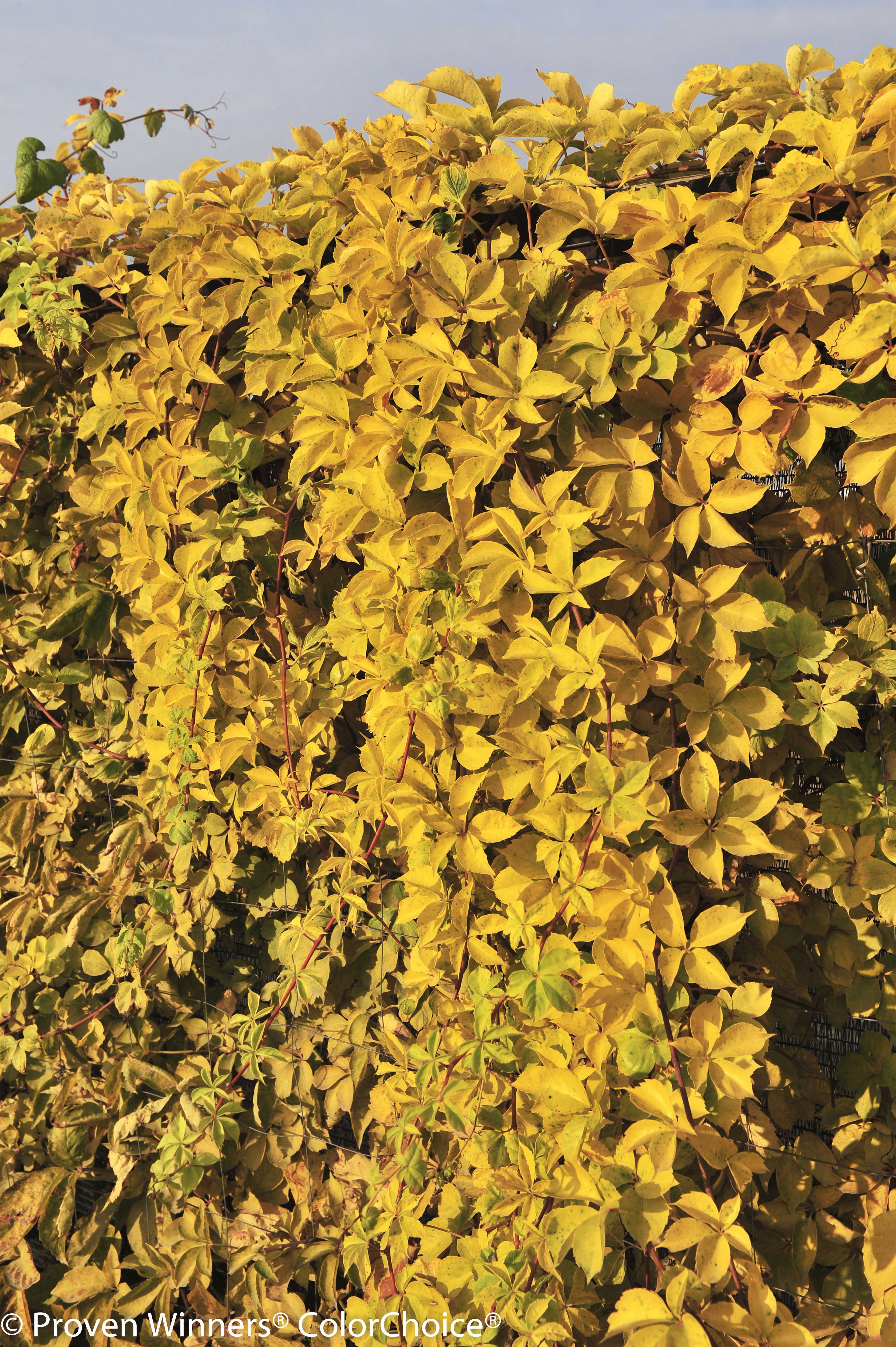 Yellow Wall\' Parthenocissus quinquefolia, Virginia Creeper; yellow ...