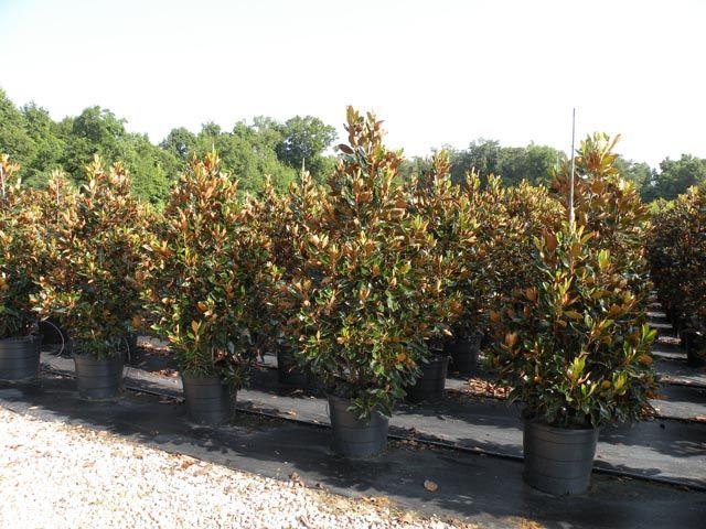 15 Gallon Little Gem Magnolia Backyard Garden Plants Backyard