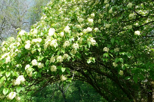 Nannyberry Viburnum Lentago Prairie Nursery Native Shrubs