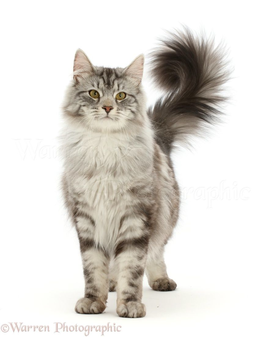 Fluffy Silver Tabby Cat In 2020 Silver Tabby Cat Tabby Cat Cats