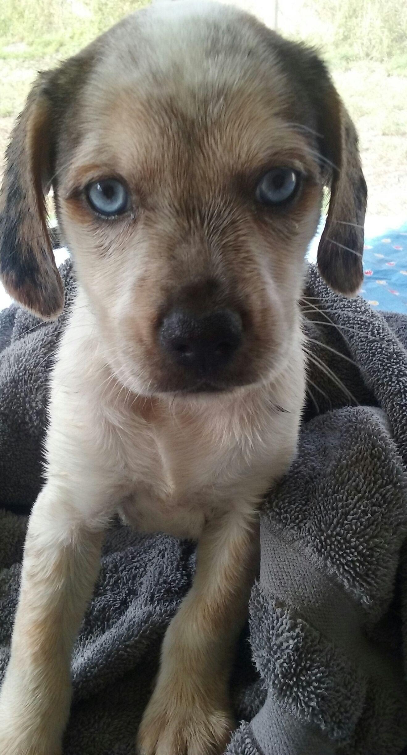 Beagle dog for Adoption in Royal Palm Beach, FL. ADN