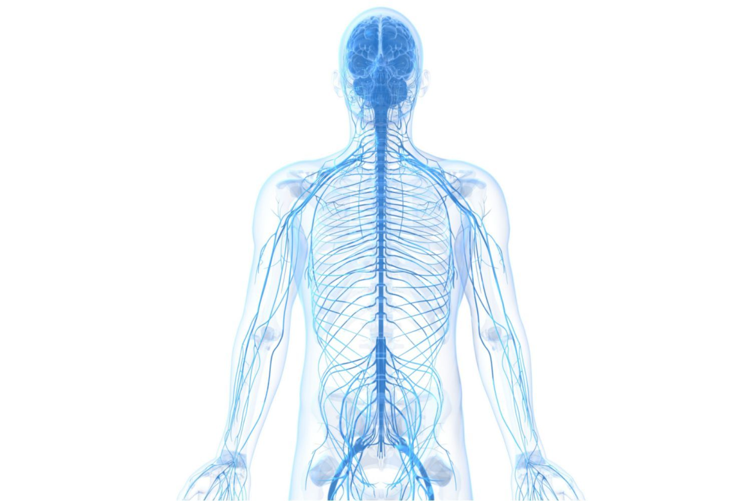 The Nervous System Consists Of The Brain Spinal Cord And A Complex